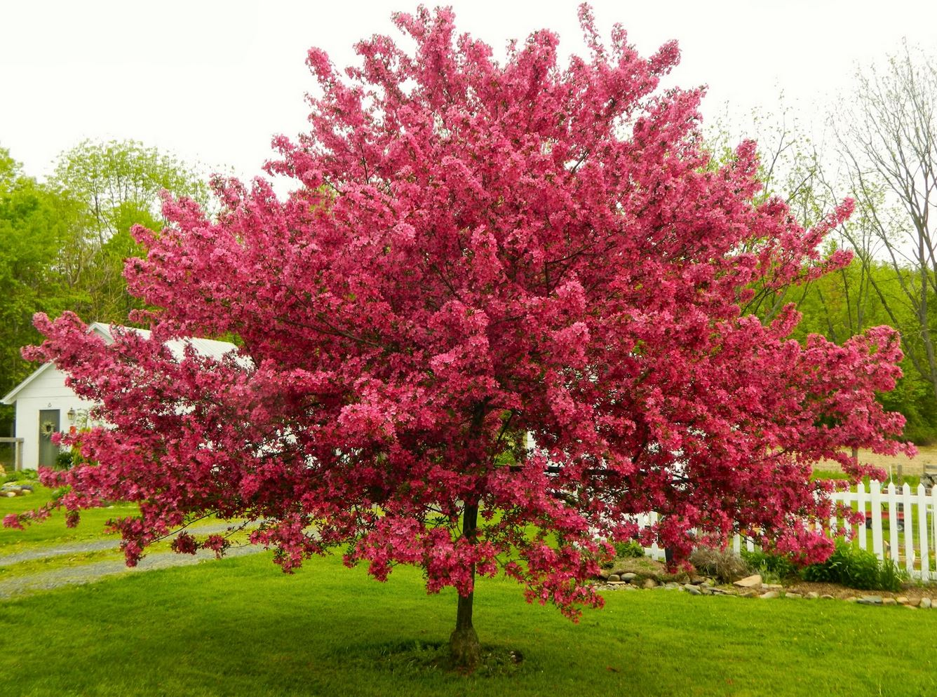 Ornamental pear tree blossoms the image for Trees that stay small