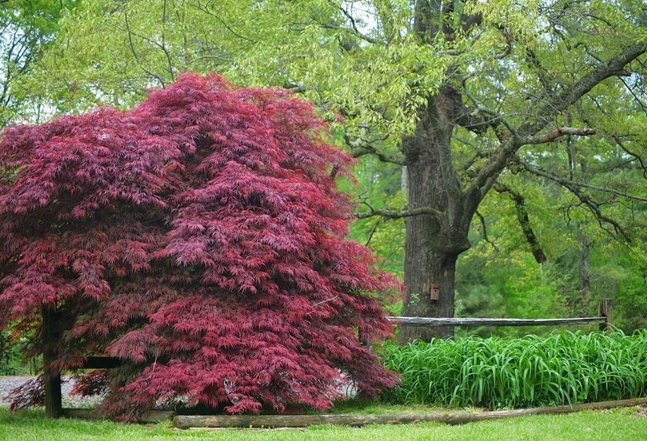 TreeMaple