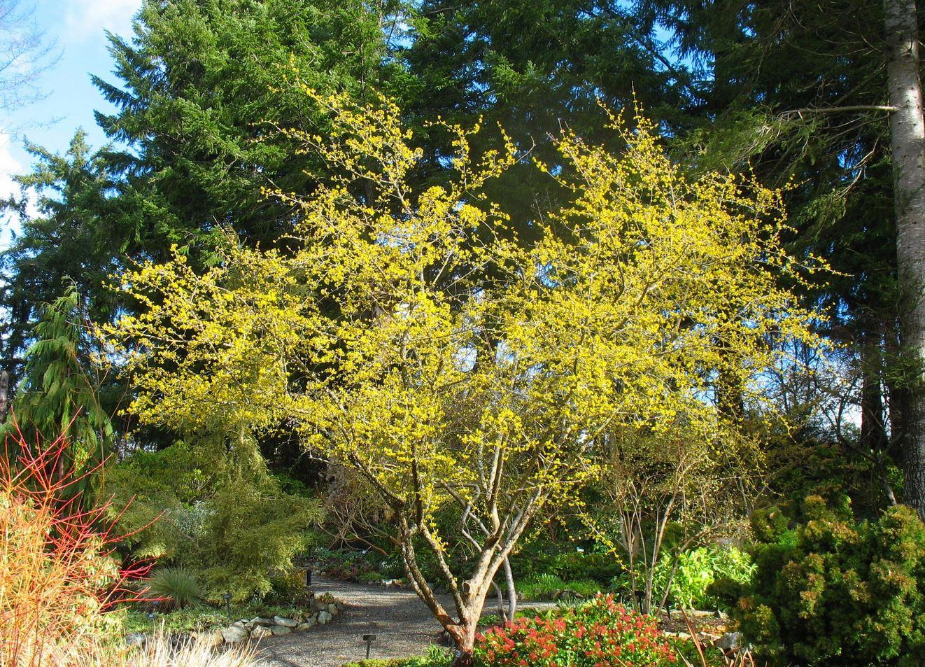 TreeCornus